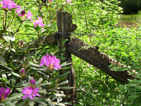 Rhododendrons and fence