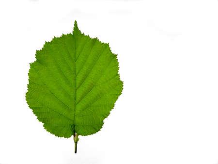 ヘーゼル ナッツの木葉