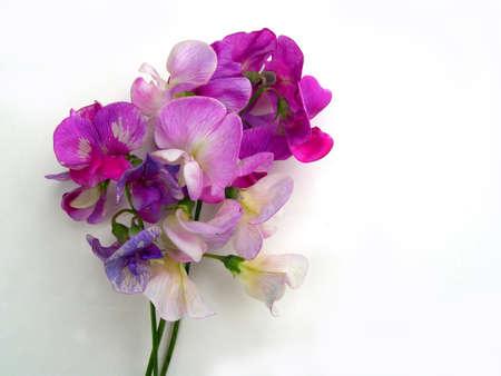 Bouquet of sweet peas, lathyrus ordoratus Banco de Imagens