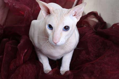 Peterbald hairless cat on the sofa photo