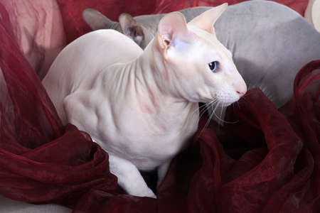 Two bald sphinx cats (Donskoy and Peterbald) isolated on the chair photo