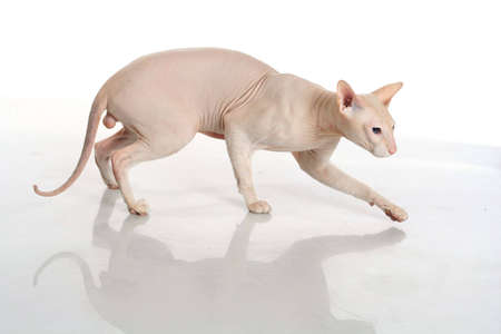 hairless: Peterbald hairless cat isolated on white background