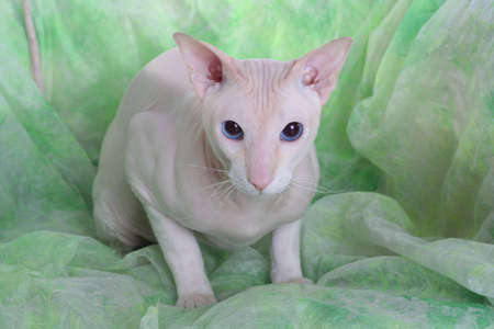 Peterbald hairless cat on the green sofa photo
