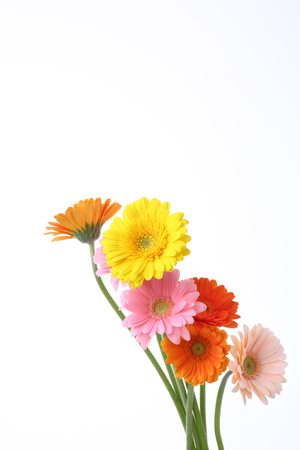 gerber flowers isolated on: Gerber flowers isolated on white background Stock Photo