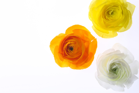 colorful ranunculus isolated on white background