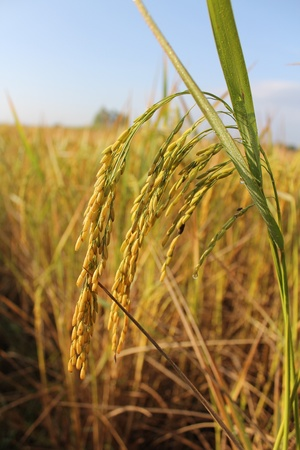 Field  rice and thailand