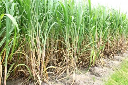 tierra fertil: Plantaci�n de ca�a de az�car en Tailandia