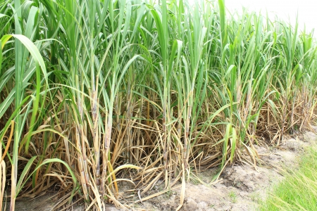 sugarcane: Sugar cane plantation in thailand