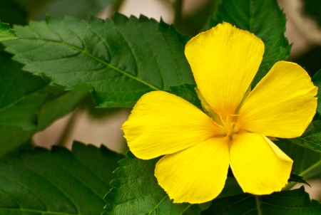 Yellow flowers with five petals stock photo picture and royalty stock photo yellow flowers with five petals mightylinksfo