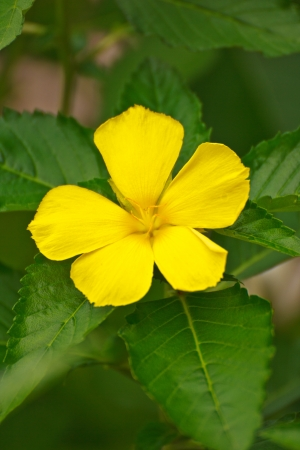 five petals: Yellow flowers with five petals Stock Photo