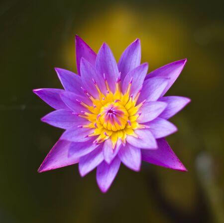 Thai lotus photo