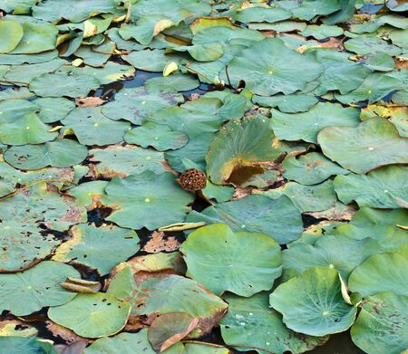 Dry lotus leaf fruit is on water photo