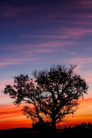 red evening: Tree red evening sky