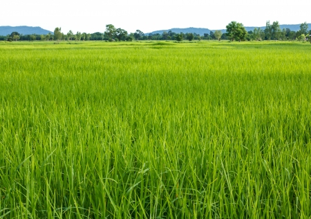 Rice cultivation in thailand. photo