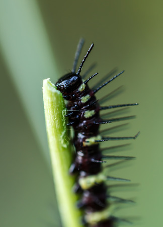 Caterpillars eat on leaves photo