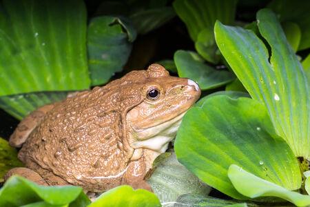 ojos verdes: Rana que se sienta en las hojas verdes en el estanque. Foto de archivo