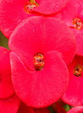 poi: euphorbia flower red colors in stunning garden