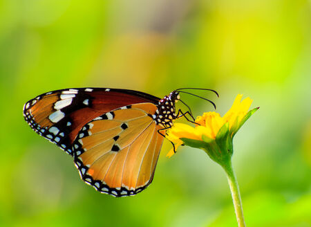 Yellow Butterfly on flowers in nature photo