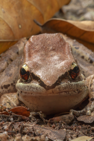 common hop: Frog Mountain gray naturally (California Grey treefrog) .
