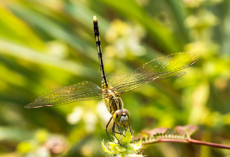 dragonfly wings: Dragonfly wings spread naturally.