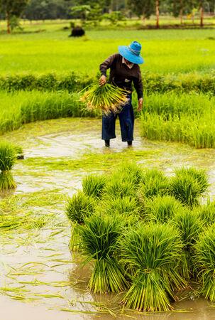 Farmers in thailand traditional thai rice growth