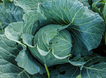 cabbage patch: Cabbage grow in home vegetable garden.