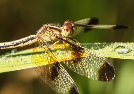 sympetrum: Dragonfly Yellow-winged darter (Sympetrum flaveolum)