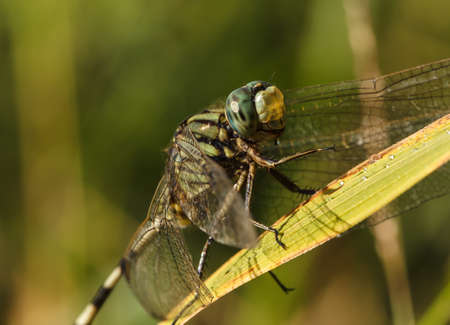 beneficial insect: closeup of beautiful dragonflies on a green plant