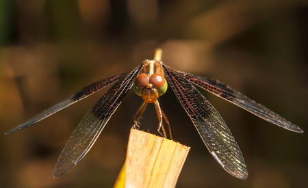 sympetrum: Dragonfly Yellow-winged darter (Sympetrum flaveolum)