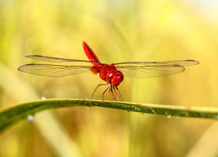 sympetrum vulgatum: A red dragonfly at rest Sympetrum vulgatum