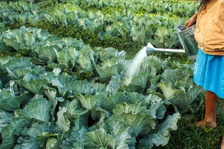 bisected: watering cabbage in the kitchen garden
