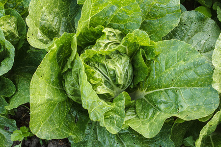 flowering kale: Fresh flowering cabbage in the agriculture garden Stock Photo