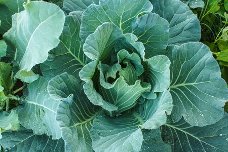 flowering kale: Kale plants in the agriculture garden Stock Photo