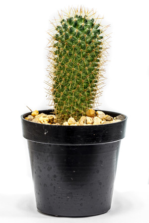 Cactus in flowerpot isolated on white background photo