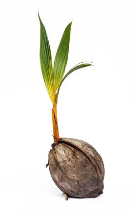 coconut seedlings: Coconut seedlings on a white background.