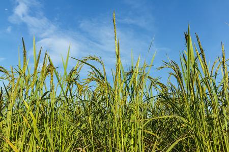 Padie Thailand voor voedselzekerheid wereldwijd.