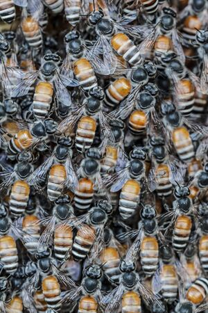 tightly: Bee flies gathered tightly in natural forests.