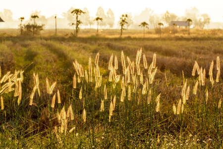 autumn color: Wild grass in the morning sunlight with,beautiful background Stock Photo
