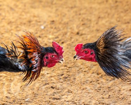 Deporte gallo de pelea de lucha populares en Tailandia