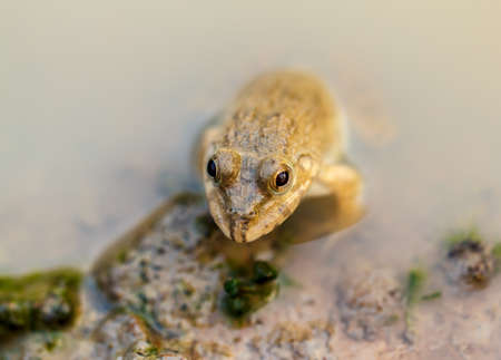 Small frog hiding in the water nobody without being seen. Stock Photo