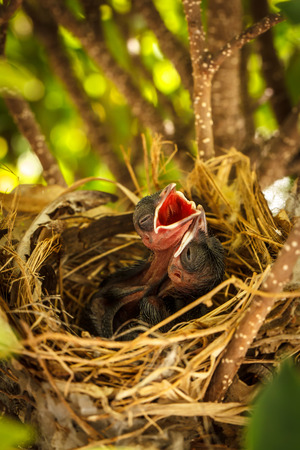 beaks: Baby birds in the nest waiting to get food with their beaks wide open Stock Photo