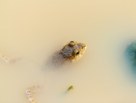 submersion: Small frog hiding in the water nobody without being seen. Stock Photo