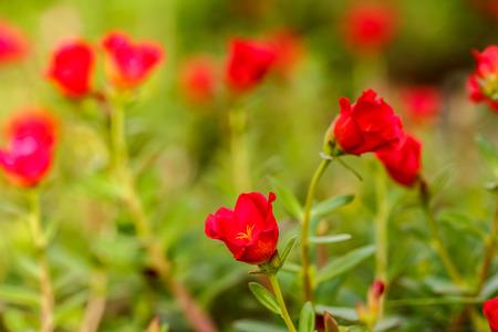Fleur Portulaca oleracea, fleurs rouges en plein air