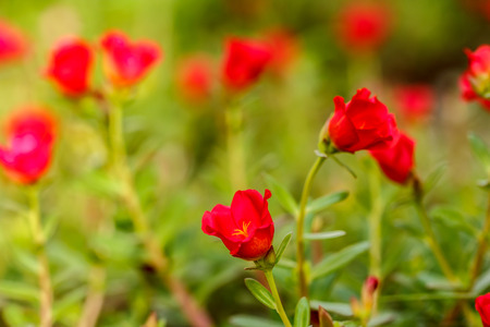 Flower Portulaca oleracea, Red Flowers outdoor Stock Photo