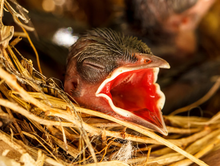 Baby birds in the nest waiting to get food with their beaks wide open Stock Photo