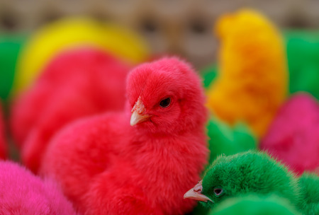 Easter chicks of four colours beautiful