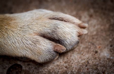Close-up picture of dog paw claw Stock Photo
