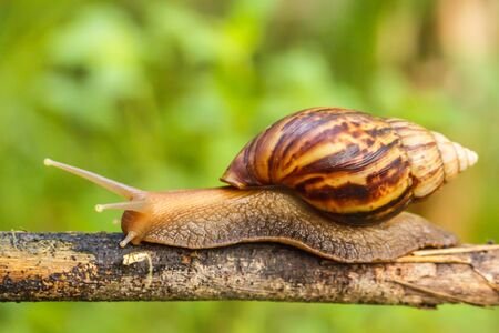 Snails crawl on the branches of plants in nature.