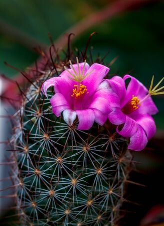 Cactus with pink flower small size beautiful stock photo picture cactus with pink flower small size beautiful stock photo 95398067 mightylinksfo