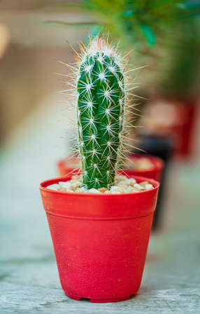 Small cactus in flower a double pot with beautiful natural light. Banque d'images